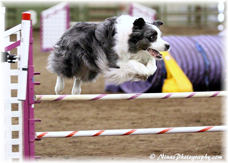2011 BCSA Nationals: Skye, playing Agility!