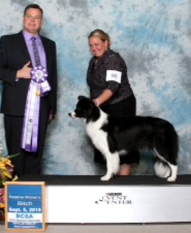 Taxi wins Reserve Winner's Bitch at the Border Collie National Specialty, September 5, 2015.